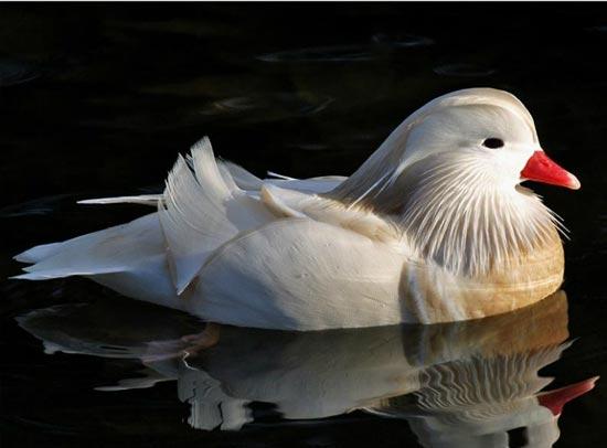 Mandarijn eend - watervogel van het jaar2011